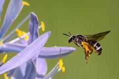 Monochrome Biene