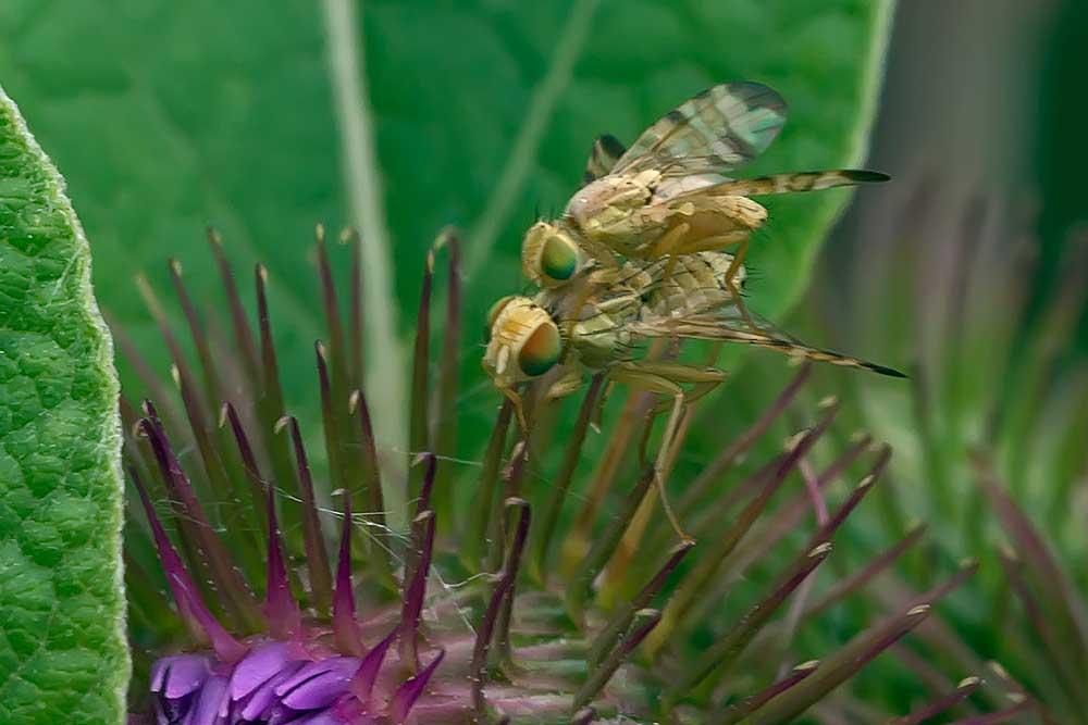 Monsieur et madame Terellia tussilaginis (Tephritidae)