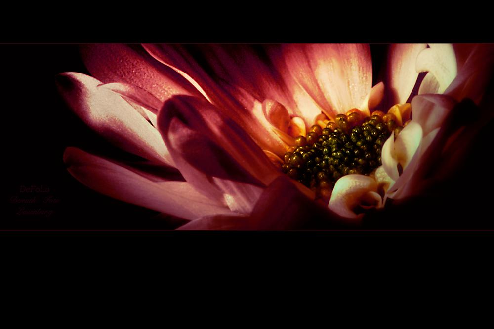 Montagmorgenblümchen (7)