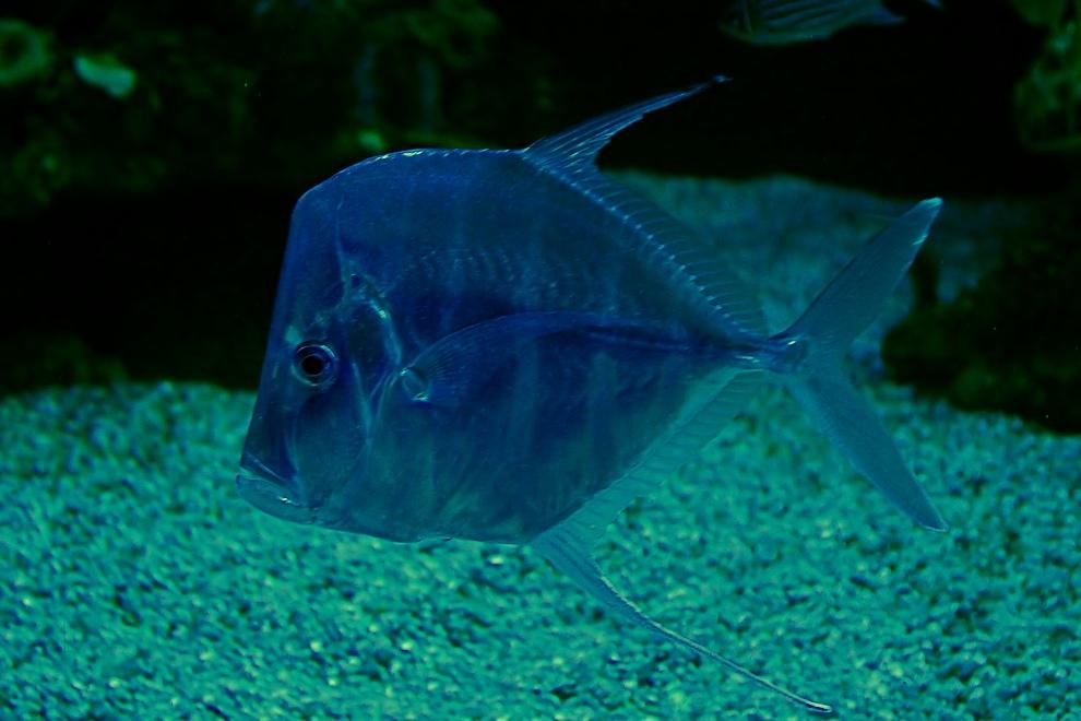 Montagmorgenfisch (Ichtius-lunedis angefressus)