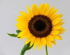 Montags - Sonnenblume (1)