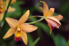 Montagsorchidee