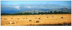 Montrose Sheep