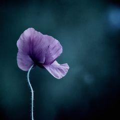 Moonlight-Flower