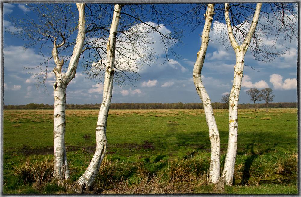 Moor-Birken