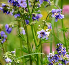 Moorwiesenblumen