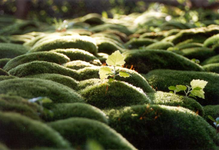 Moos h gel foto bild pflanzen pilze flechten natur for Moos bilder pflanzen