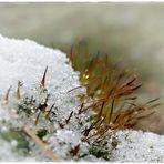 Moos im ersten Schnee