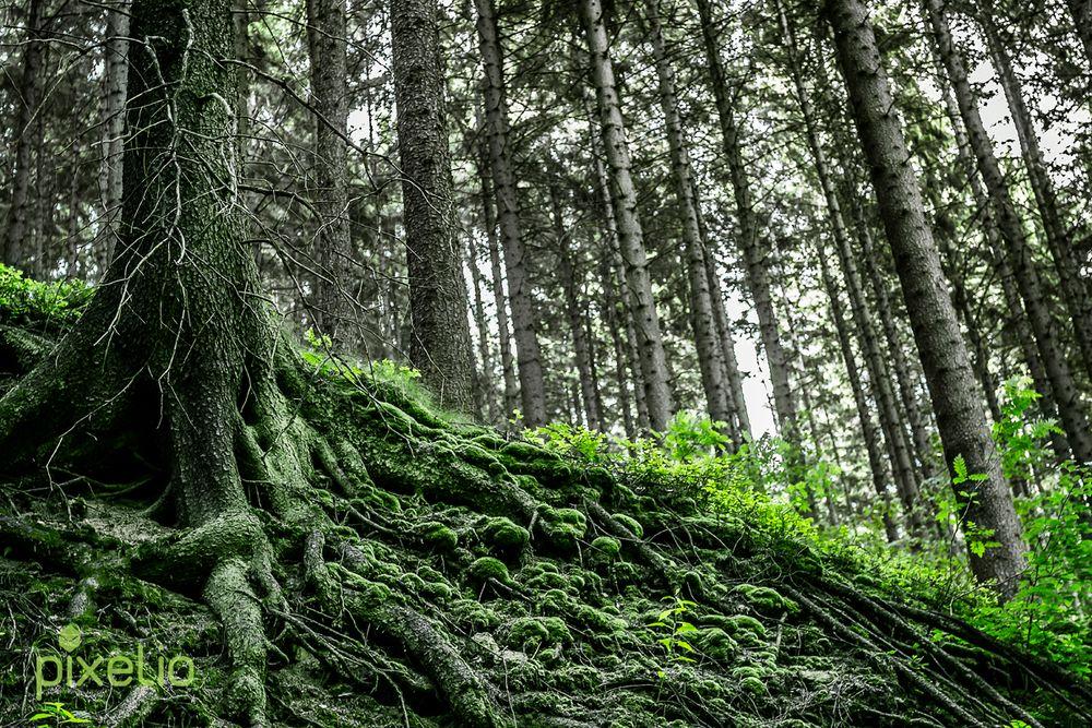 moosbedeckte Adern des Waldes