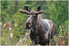 Moose Count +1