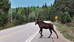 Moose Crossing..