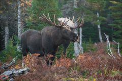 [ Moose ]