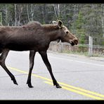 Moose der Letzte