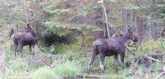 Moose ..