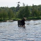 Moose in Pond in Maine