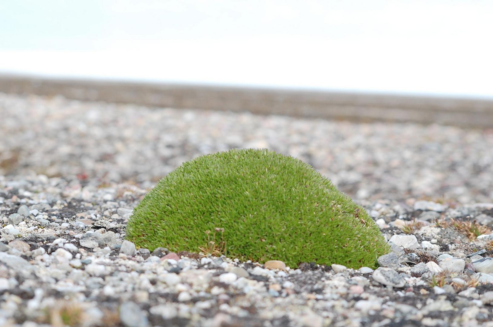 Mooshügel auf Spitzbergen