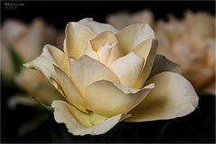 Blütenwunder - ROSEN
