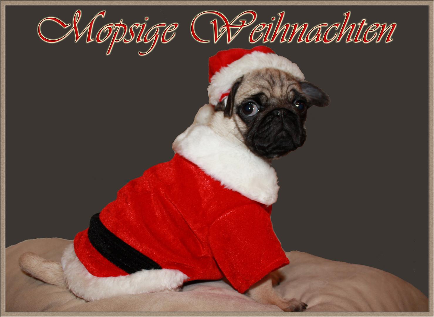 Mops Bilder Weihnachten.Mopsige Weihnachten Foto Bild Gratulation Und Feiertage