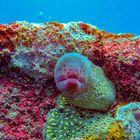 Moray eel looking out the cave