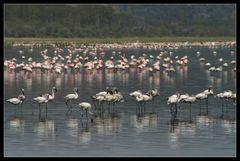 ... More Flamingos at Lake Nakuru ...