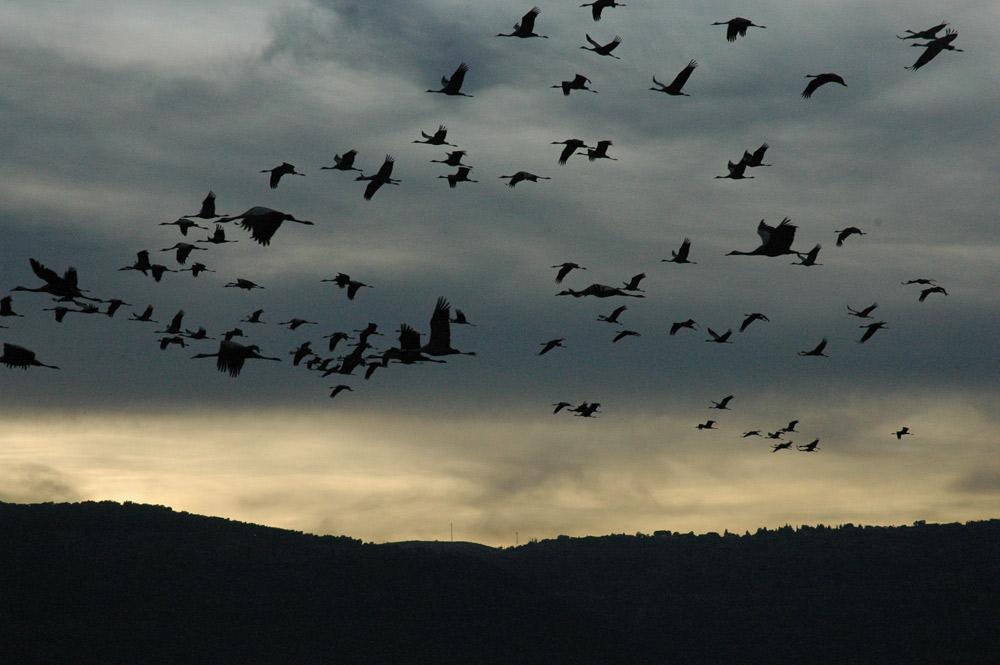 More migrating cranes