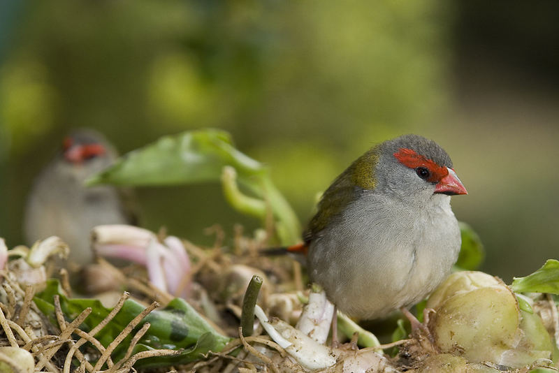 More Red Browed Finches