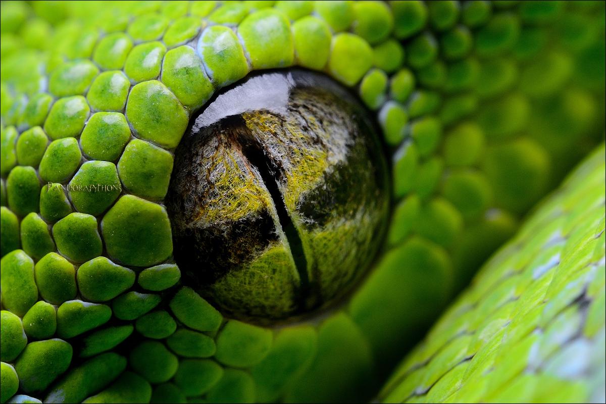 Morelia viridis Auge