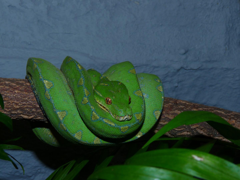 Morelia viridis, Mainland