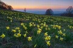 Morgen im Osterglockenfeld