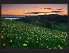 Morgenglühen über dem Aprilglockenfeld - DRI