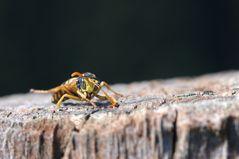 Morgengymnastik einer Wespe