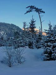 Morgenlicht in der Föhrenheide bei Farchant...