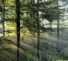 Morgennebel im Wald I