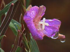 morgens am Feldweghang : Blüte rangezoomt, etwas  größer als ein Daumennagel,