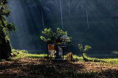 * Morgens in den Reisfeldern...