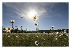 Morgens, in der Blumenwiese
