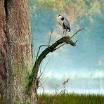 Morgenstimmung - Graureiher (Ardea cinerea) | Naturpark-Schwalm-Nette