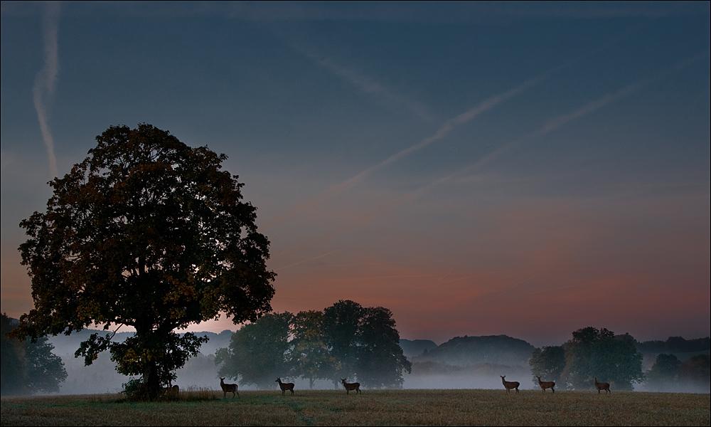 Morgenstund hat ........ 7 Hirschkühe auf dem Feld
