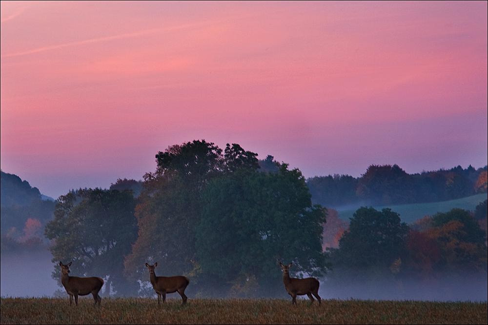 Morgenstund hat .........Hirschkühe auf dem Feld