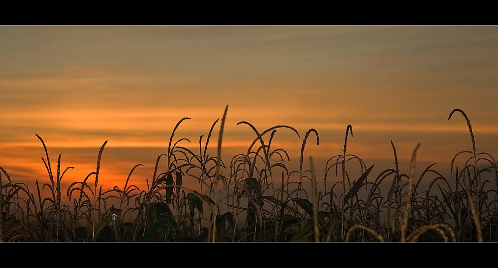 Morgenstund hat .........Mais auf dem Feld