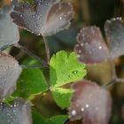 Morgentau auf Blättern einer Gartenpflanze