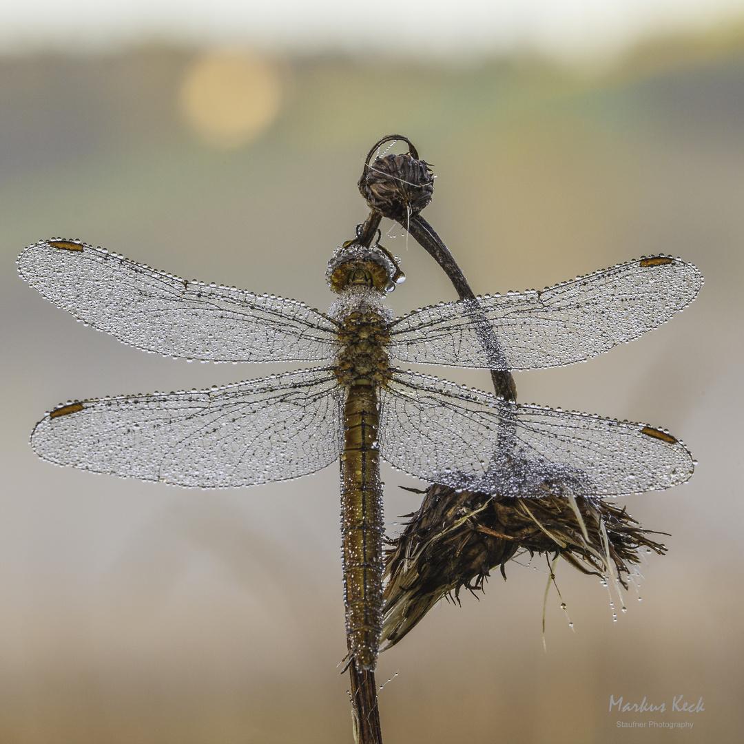 Morgentau Libelle
