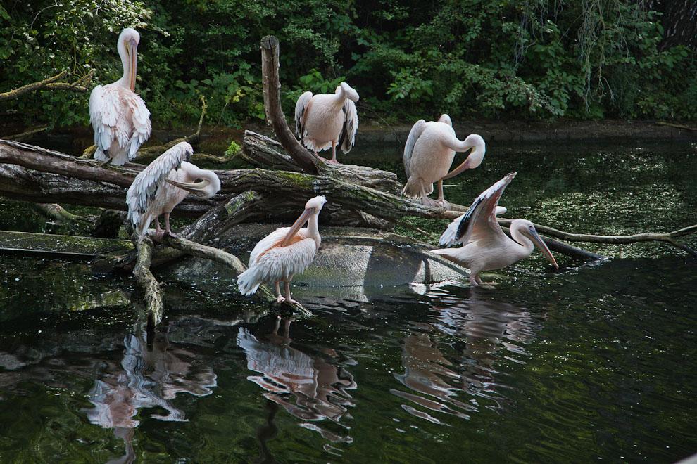 Morgentoilette bei Pelikans