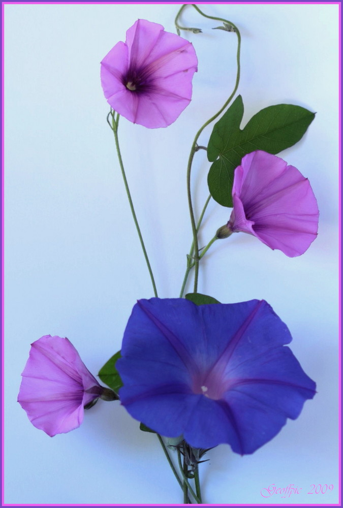 Morning Glory or not