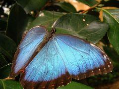 Morpho peleides, Flügeloberseite