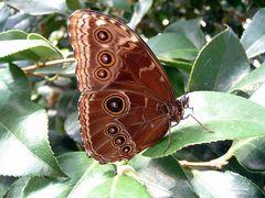 Morpho peleides, Flügelunterseite
