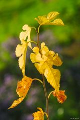 Morus Herbst