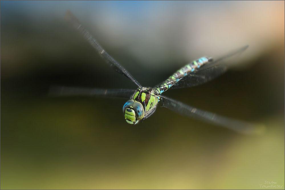 mosaikjungfer_fly