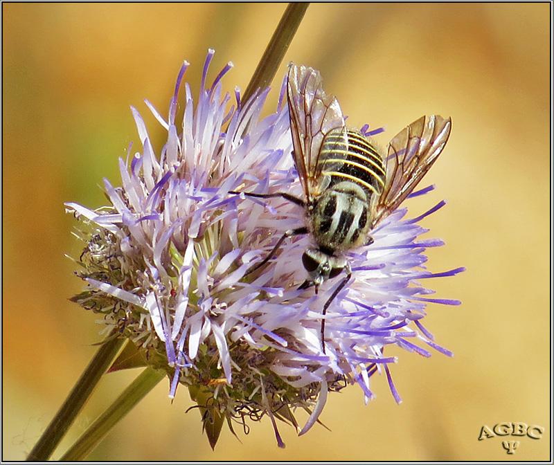 Mosca abeja (Parageron incisus)