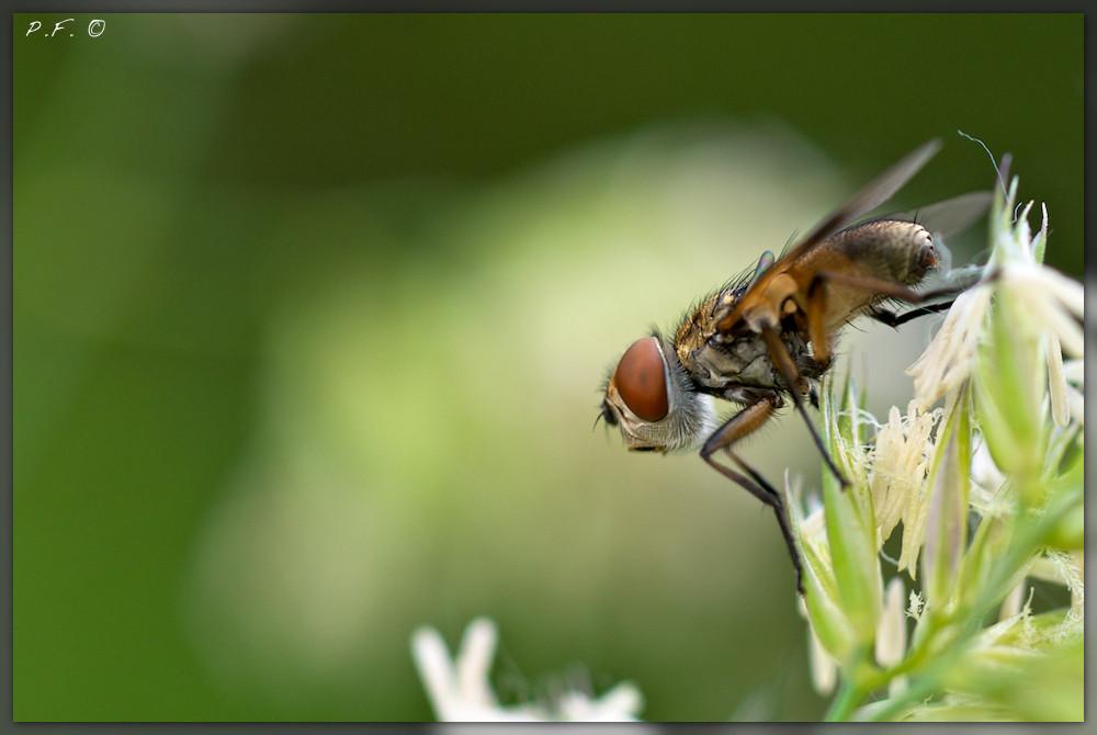 mosca comune(?)
